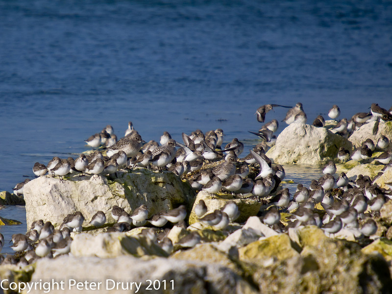 17 February 2011. Dunlin and Grey Plover roosting on the east side of the oysterbed lagoon, southern wier. Copyright Peter Drury 2011