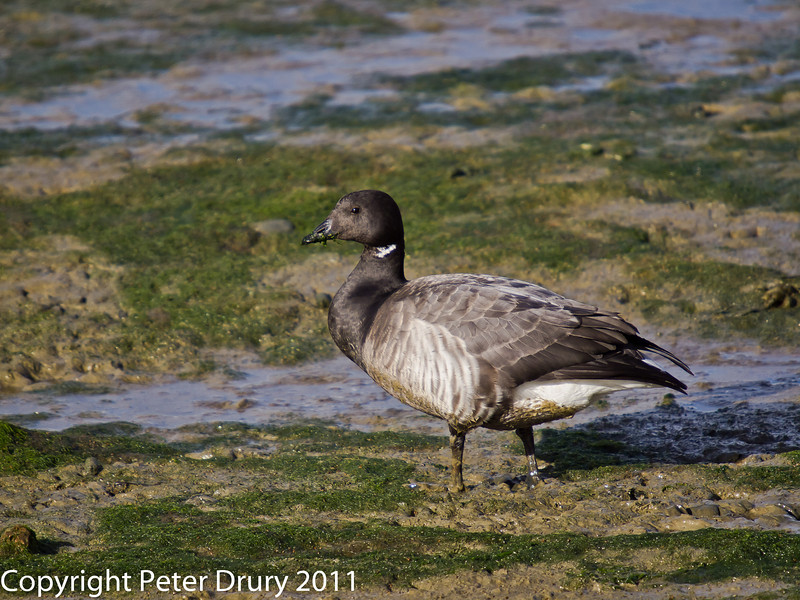 12 February 2011. Brent Goose at the Oysterbeds. Copyright Peter Drury 2011