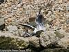 Juvenile gull too close to gull chicks #1. Copyright Peter Drury 2010