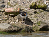 22 July 2010 - Oystercatcher fledgling on South Island. Copyright Peter Drury 2010
