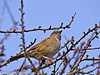 06 March 2011. Dunnock singing in the bushes on the Hayling Billy Trail. Copyright Peter Drury 2011