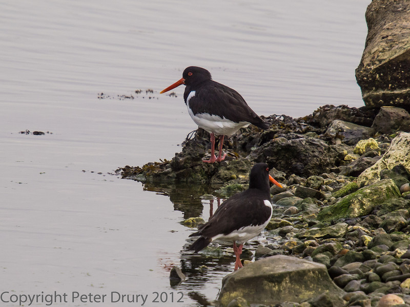 A pair of Oystercatcher at the south end of South Island. It was low tide in the harbour and normally these would be feeding at the tide line. Perhaps they might settle on the island and lay eggs - we shall see.