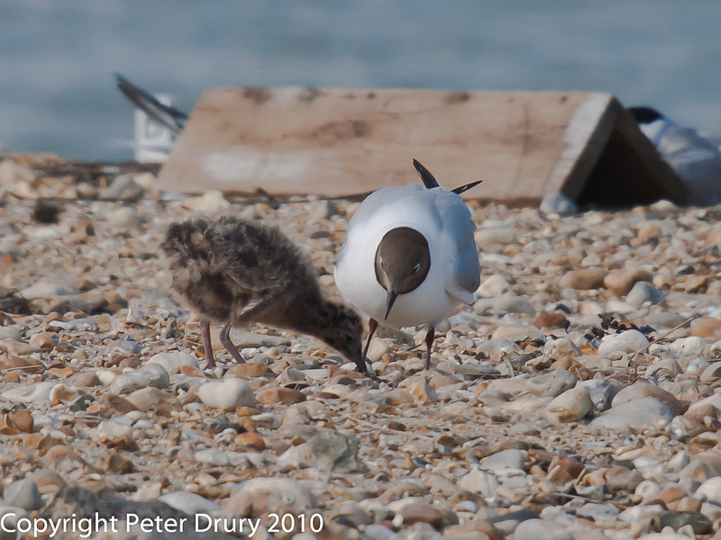 Black -headed Gull chicks. Compare this image with one from a few days ago and the rate of growth can be seen. Copyright Peter Drury 2010