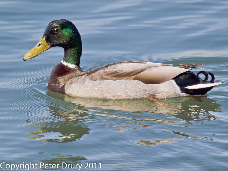 06 April 2011. Mallard in the lagoon.  Copyright Peter Drury 2011