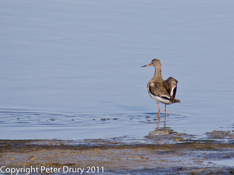 08 February 2011. Redshank at the Oysterbeds. Copyright Peter Drury 2011