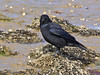 18 Oct 2011 Carrion Crow at West Hayling LNR.