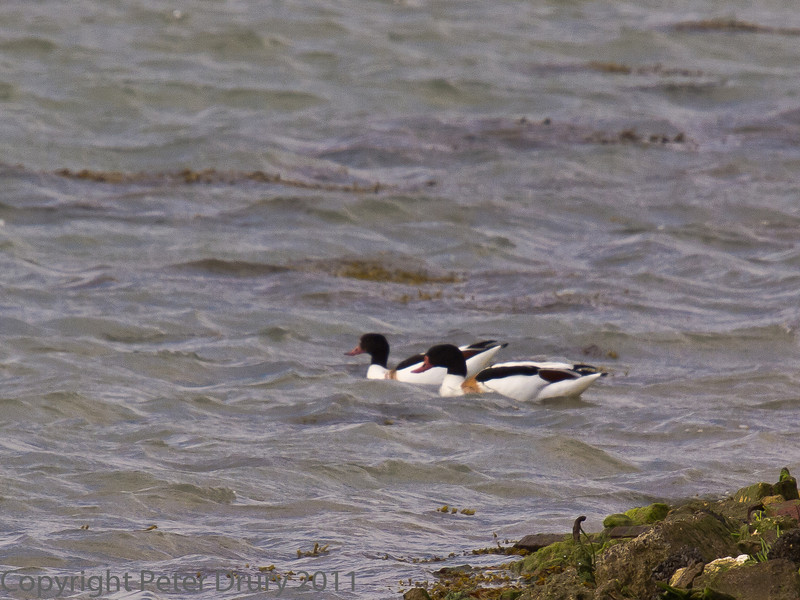 12 Sep 2011 A few shelduck are at the grassy bund in the last osterbed bay. This is their usual location at this time of the year and can be seen until next spring