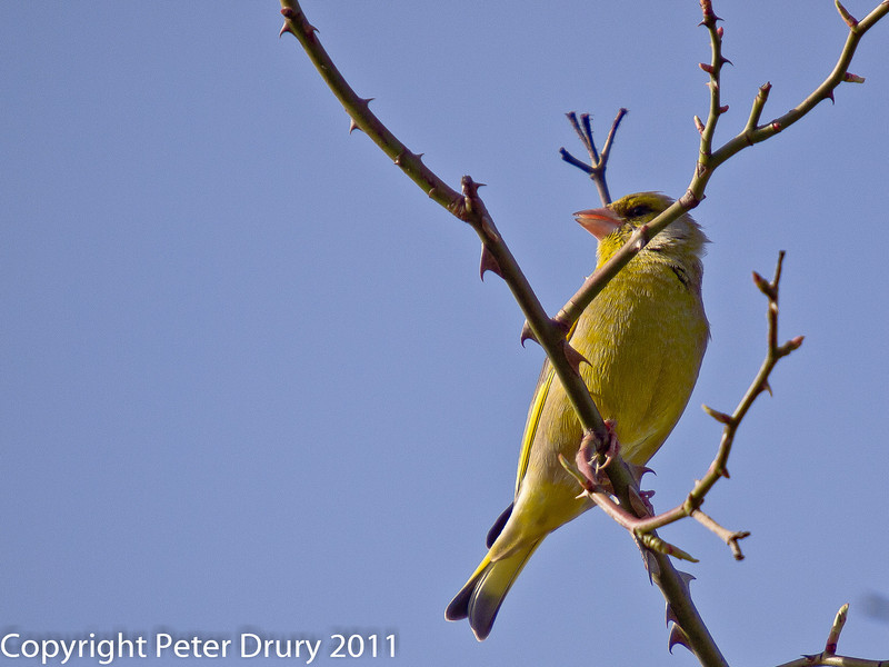 11 March 2011. Greenfinch on the Hayling Billy Trail. Copyright Peter Drury 2011
