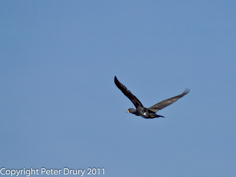 08 February 2011. Cormorant at the Oysterbeds. Copyright Peter Drury 2011