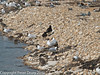 Search for Oystercatcher family. Copyright Peter Drury 2010