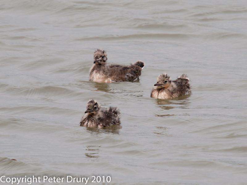 Black-headed Gull chicks. Copyright Peter Drury 2010