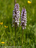 Common Spotted Orchid (Dactylorhiza fuchsii).  Copyright Peter Drury 2010