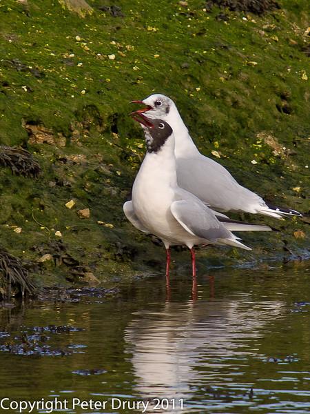 27 February 2011.Mediterranean Gull? Copyright Peter Drury 2011