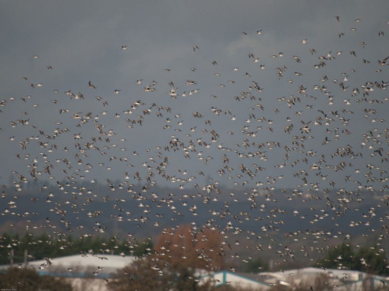 Waders trying to find somewhere to roost at high tide. Copyright 2009 Peter Drury