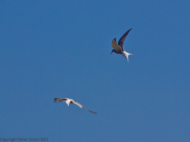 19 May 2011. Common Tern at the oysterbeds. Copyright Peter Drury 2011