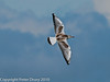 22 July 2010 - Juvenile Black-headed Gull flying over the lagoon. Copyright Peter Drury 2010<br /> At this stage of their lives, the birds are extremely varied in plumage and some would ague that this is their most attractive stage.