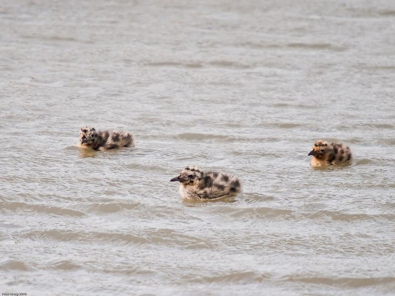 Black-headed Gull chicks at 12 days old. Copyright Peter Drury 2010