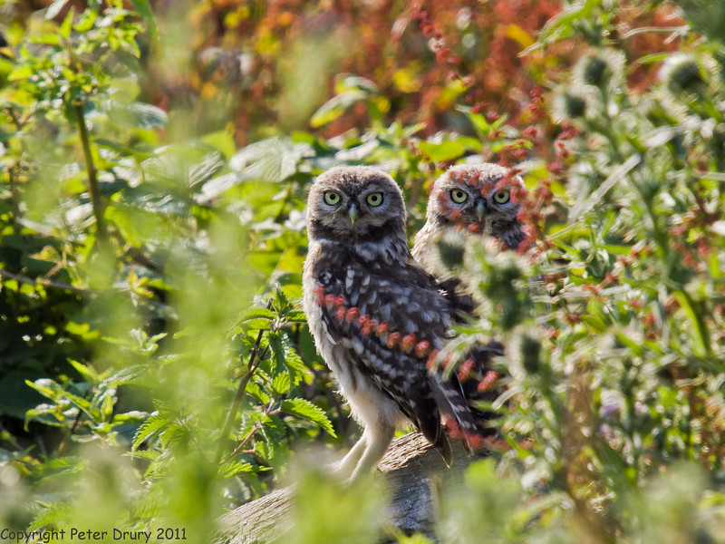 04 July 2011. Little Owl on th Hayling Billy Trail. Copyright Peter Drury 2011