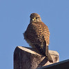 08 February 2011. Kestrel at the Oysterbeds. Copyright Peter Drury 2011