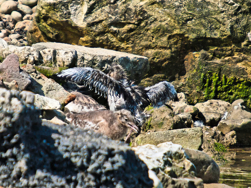 Gull chicks cooling off. Copyright Peter Drury 2010
