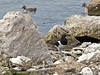 Oystercatcher at its island territory. Copyright Peter Drury 2010
