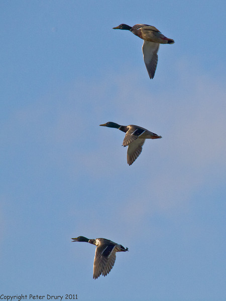10 May 2011. Mallard on the salt marsh at the Oysterbeds. Copyright Peter Drury 2011
