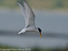 Little Tern (Sterna albifrons). These are nesting on the RSPB Islands in Langstone Harbour. Some come across to the Oysterbed lagoon to fish.  Copyright Peter Drury 2010