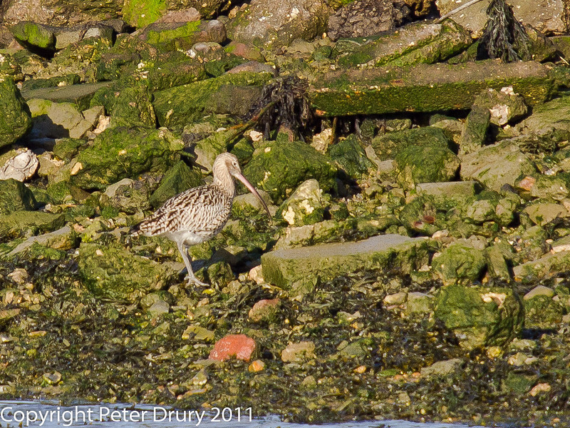 03 February 2011. Curlew at the north of the oysterbed site. Feeding at the waters edge. Copyright Peter Drury 2011