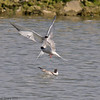04 July 2011. Common Tern adult protecting its young fledgling in the lagoon at the Oysterbeds. Copyright Peter Drury 2011