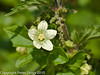 White Bryony (Bryonia dioica).  Copyright Peter Drury 2010
