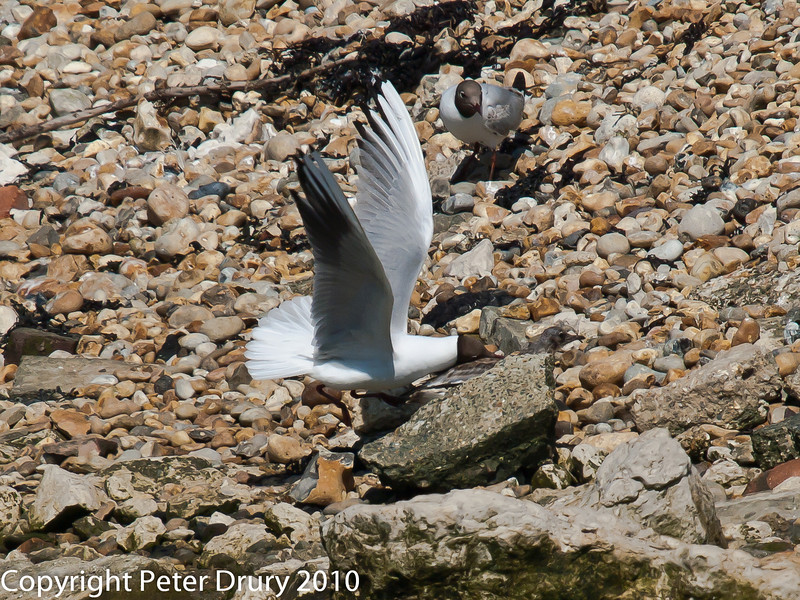 Juvenile gull too close to gull chicks #5. Copyright Peter Drury 2010