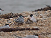 Common Tern family. Now the chick on the right reaches forward to be fed. Copyright Peter Drury 2010