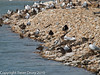 Search for Oystercatcher family. One chick is present (thanks Jason) and can be seen below and behind the lower adult on the left.. Copyright Peter Drury 2010
