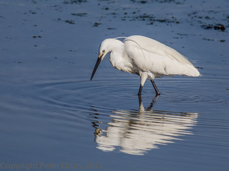 Little Egret at the Oysterbed lagoon