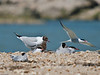 A Black-headed gull chick calling out as a Common Tern flies past with its parent looking on approvingly. Copyright Peter Drury 2010