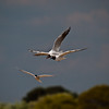 Common Tern chasing off Black-headed Gulls. Copyright Peter Drury 2010<br /> Rivalries between the adult Tern/Black-headed gulls for prime nesting sites is common now that the breeding season is opening. Aerial combat between individuals is a common sight.