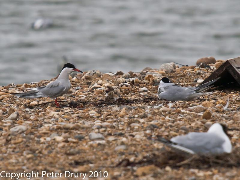Common Tern family. Copyright Peter Drury 2010