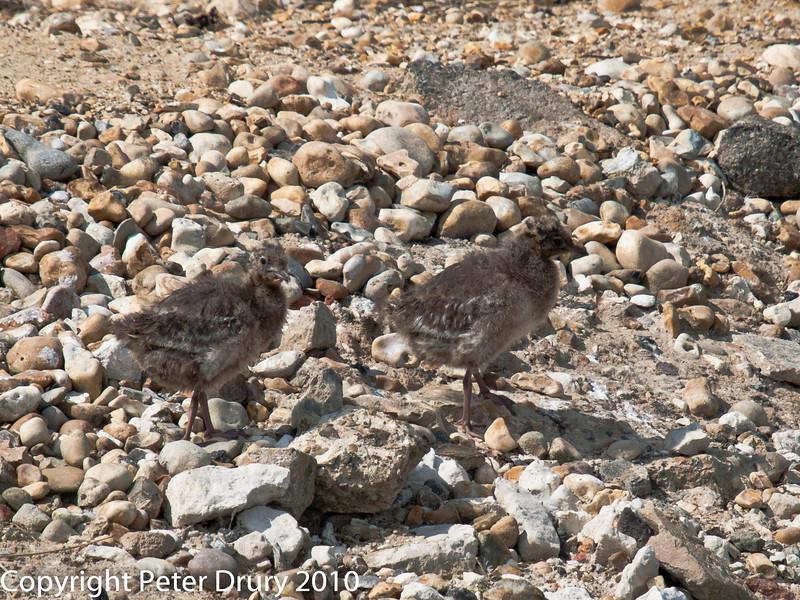 Black-headed Gull.  Copyright Peter Drury 2010