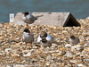 22 July 2010 - Common Tern Chick being fed. Copyright Peter Drury 2010