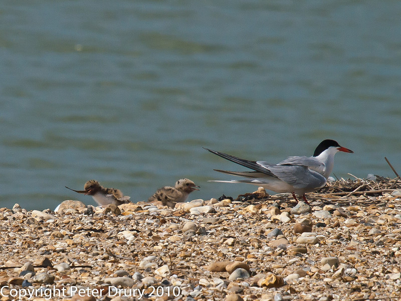 Common Tern (Sterna hirundo). Now for the wait. One chick is satisfied but the other, and the female Tern, hope the male will be back soon. Copyright Peter Drury 2010