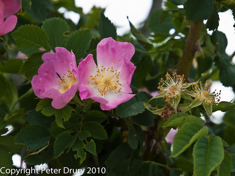 Dog-rose (Rosa canina).  Copyright Peter Drury 2010