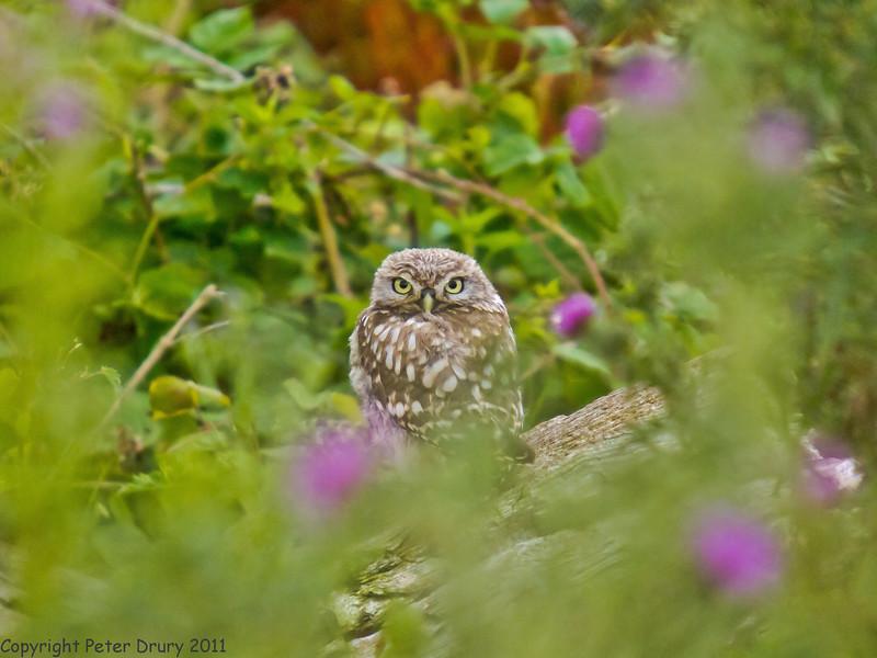 22 July 2011. Little Owl near Hayling Billy Trail. Copyright Peter Drury 2011