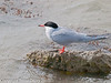 Common Tern - Reprocessed.  Copyright Peter Drury 2010