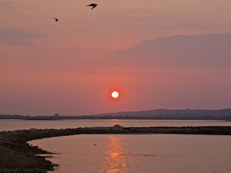 28 April 2011. Common Tern returning to its island roost at dusk. Copyright Peter Drury 2011