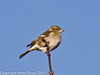 28 January 2011. Female Chaffinch on the Hayling Billy Trail.  Copyright Peter Drury 2011