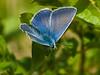 common blue (Polyommatus icarus) male. Copyright Peter Drury 2010