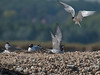 Common Tern arriving back at the nesting site and being welcomed by his mate. Copyright Peter Drury 2010