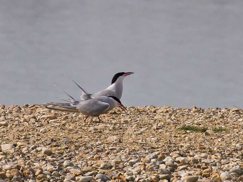 24 April 2011. This years first arrivals at the Oysterbed site. Copyright Peter Drury 2011