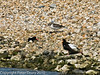 South island Oystercatcher family. Copyright Peter Drury 2010