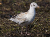 22 July 2011. Black-headed Gull fledgling at the Oysterbeds. Copyright Peter Drury 2011